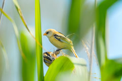 Yellow little bird. Bird that is found in the fauna of Romania, specific color, the birds Stock Images
