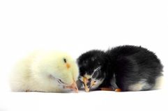 Yellow little chick and black little chick are sleep with isolated on white background Stock Images