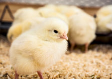 Yellow little chick Royalty Free Stock Photos