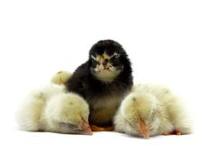 Yellow little chick are sleep and black little chick are stand with isolated on white background. The yellow little chick are sleep and black little chick are Royalty Free Stock Images