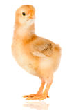 Yellow little chicken Royalty Free Stock Images