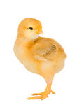 Yellow little chicken Royalty Free Stock Photography