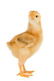 Yellow little chicken Royalty Free Stock Photos
