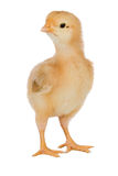 Yellow little chicken Stock Photos