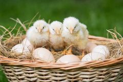 Chickens and eggs. Royalty Free Stock Photos