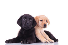 Yellow little labrador retriever lying on top of black puppy royalty free stock photos