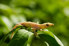 Yellow lizard Royalty Free Stock Photo