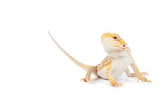 Yellow lizard Royalty Free Stock Images