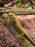 yellow lizard on a branch in a contact zoo royalty free stock photo