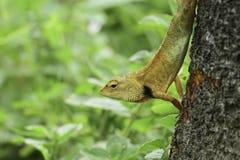Yellow Lizard royalty free stock photo