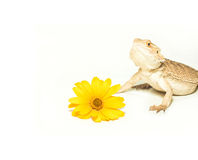 Lizard pogona viticeps on white background Stock Photo