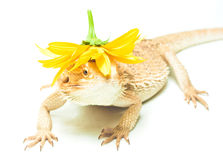 Lizard pogona viticeps on white background Stock Photography