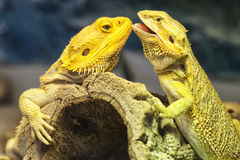 Yellow Lizards in Love Stock Photography
