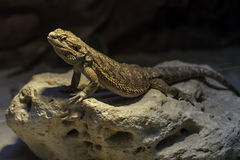 Yellow lizzard standing in the shade on a big rock. With holes in it Royalty Free Stock Image
