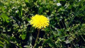Yellow lonely dandelion growing in fresh green grass. Video of yellow dandelion close up. Yellow lonely dandelion growing in fresh green grass. Video of yellow stock video footage