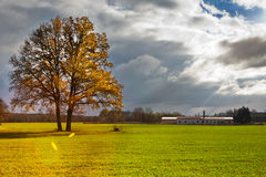 Yellow lonely oak tree in the green field Stock Photos