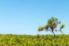 Yellow Lonely Tree Stock Photography