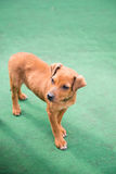 Lonely young puppy dog Royalty Free Stock Image