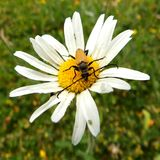 Beetle. A yellow long horn beetle on a white flower Stock Photos