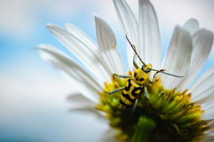 Yellow Longhorn bug on a flower. Close-up of yellow longhorn bug (beetle) on the underside of a white flower, with the sky in the background Stock Image