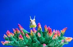 Yellow longhorn cowfish, Lactoria cornuta in the aquarium stock photography