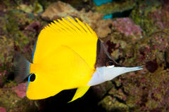 Yellow Longnose Butterfly in Aquarium Stock Photography