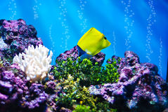 The Yellow Longnose Butterflyfish Stock Photo
