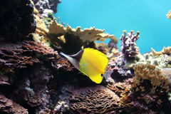 Yellow Longnose Butterflyfish Royalty Free Stock Photos