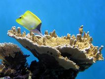 Yellow Longnose Butterflyfish. A Longnose Butterflyfish feeds among the coral polyps on a sheet coral off the coast of Hawaii Royalty Free Stock Photography