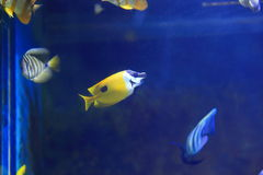 Yellow longnose butterflyfish. The yellow longnose butterflyfish or forceps butterflyfish, Forcipiger flavissimus, is a species of marine fish in the family Stock Image
