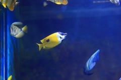 Yellow longnose butterflyfish Stock Image
