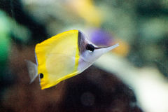 Yellow longnose butterflyfish Forcipiger flavissimus. Swims over a coral reef Stock Image
