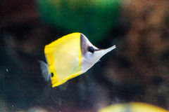 Yellow longnose butterflyfish Forcipiger flavissimus. Swims over a coral reef Stock Photography
