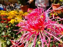 The flowers pink  chrysanthemum Stock Photo