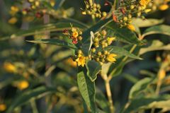 Yellow Loosestrife Blossoms Royalty Free Stock Photo