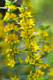 Yellow Loosestrife flower (Lysimachia vulgaris). Closeup of  Yellow Loosestrife flower (Lysimachia vulgaris Royalty Free Stock Images