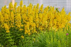 Bush flowered loosestrife. Yellow loosestrife flowering Bush on a background of green garden Royalty Free Stock Images