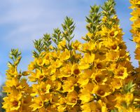 Yellow Loosestrife Flowers. The bright yellow flowers of the perennial plant Lysimachia punctata, also known as Loosestrife Royalty Free Stock Photos