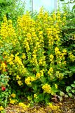 Yellow Loosestrife flowers. Yellow Loosestrife Latin name Lysimachia vulgaris flowers Royalty Free Stock Image