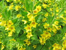 Yellow loosestrife Stock Photo