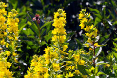 Yellow Loosestrife  in the garden Stock Image
