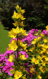 Yellow loosestrife grows against a colourful floweres Stock Photos