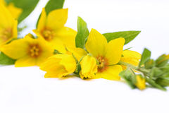 Yellow loosestrife, Lysimachia punctata Royalty Free Stock Photo