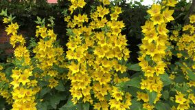 Yellow loosestrife lysimachia punctata in flower stock video footage