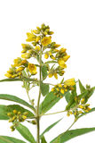Yellow Loosestrife (Lysimachia vulgaris) Stock Images