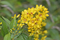 Yellow Loosestrife. Lysimachia vulgaris Stock Image