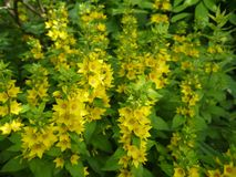 Yellow loosestrife Royalty Free Stock Photos