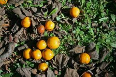 YELLOW LOQUAT FRUIT WITH DEAD BROWN LEAVES ON THE GROUND. Patch of green ground covering on the ground with brown fallen leaves and yellow loquat fruit Royalty Free Stock Image