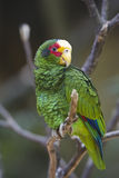 Yellow-lored Parrot Royalty Free Stock Photo
