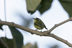 Yellow-lored tody-flycatcher, Todirostrum poliocephalum Stock Photo